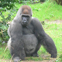 Gorillas evolved anatomically enlarged foreheads to convey increased status and maturity.