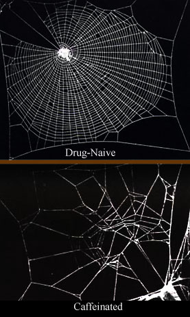 Caffeine has a significant effect on spiders, which is reflected in their web construction.