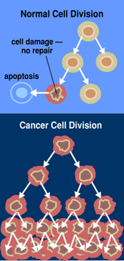 When normal cells are damaged beyond repair, they are eliminated by apoptosis.  Cancer cells avoid apoptosis and continue to multiply in an unregulated manner.