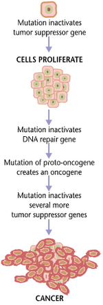 Cancers are caused by a series of mutations.  Each mutation alters the behavior of the cell somewhat.