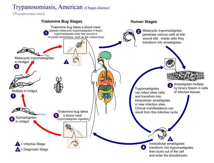 Life cycle of Trypanosima cruzi. Source: CDC