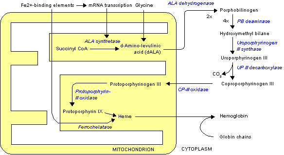 Heme synthesis - note that some reactions occur in the cytoplasm and some in the mitochondrion (yellow)