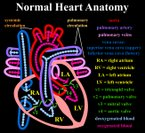 Normal heart anatomy
