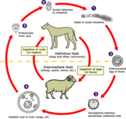 Echinococcus life cycle (click to enlarge)