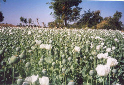 Opium crop from the Malwa region of India