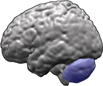 Cerebellum (in blue) of the human brain